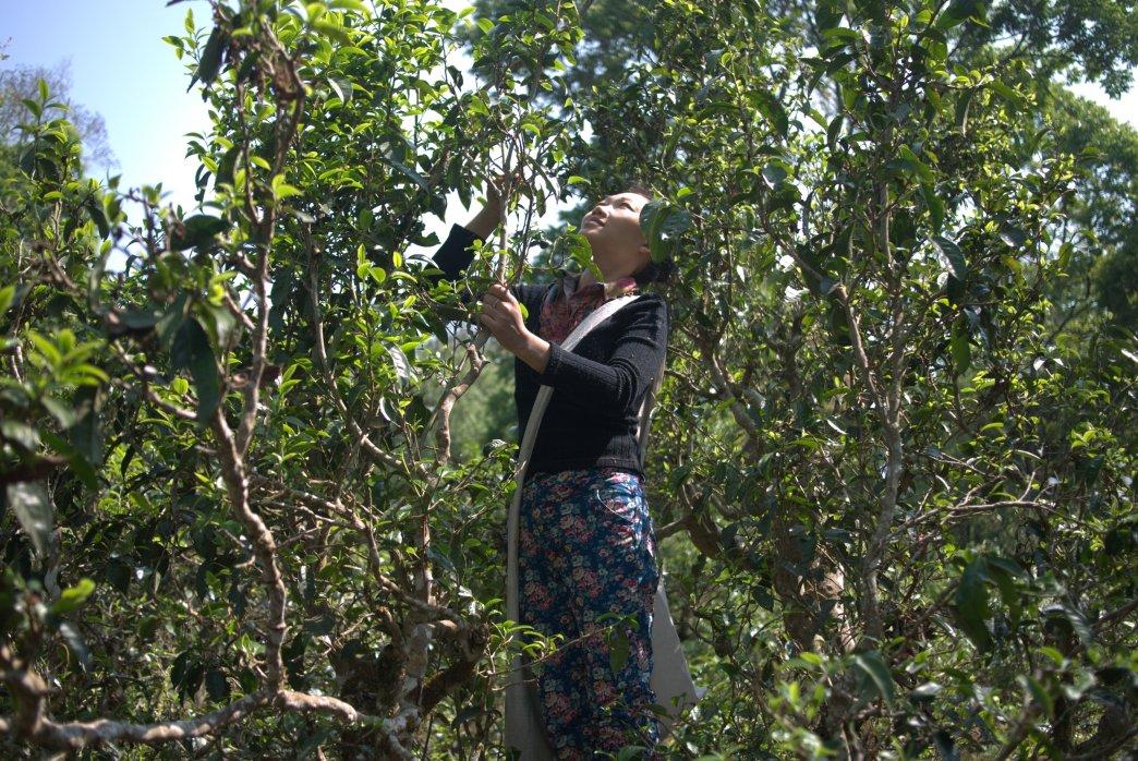 Bulang woman picking tea from 1000 year old tree